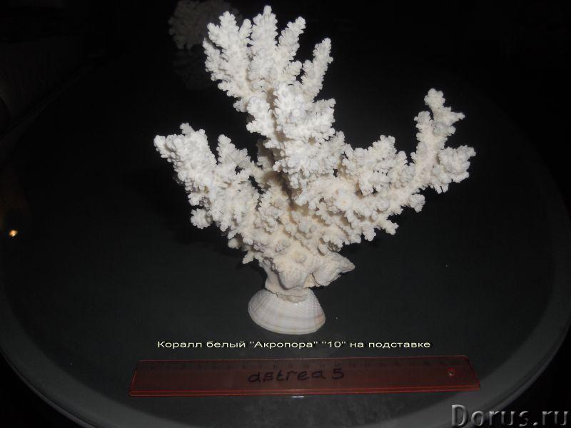 Морские раковины - Искусство и коллекционирование - Предлагаю разные морские раковины, кораллы,разме..., фото 4